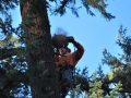 Douglas Fir tree cutting services in Oregon