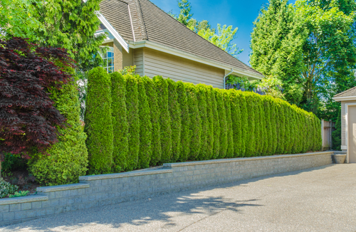 Trees That Provide the Most Privacy