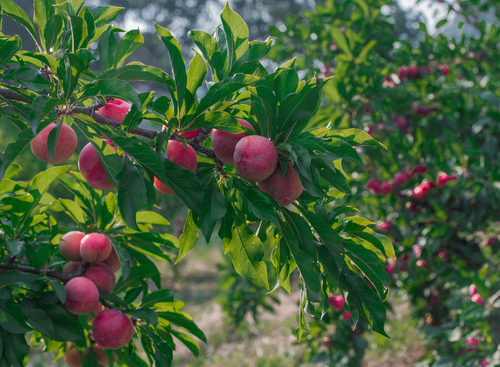 How to Protect Your Prune & Plum Trees