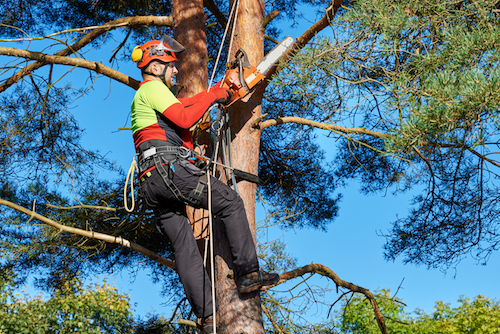 Tall Tree Maintenance Looks Dangerous, But Safety Comes First