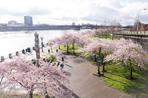 When Will The Cherry Trees Bloom in Portland