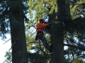 Using a chain saw a skilled crew member from Mr Tree removes the tree top