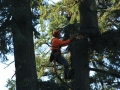 To remove the top of a pine tree our crew climbs up for the best section