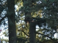 douglas-oregon-tree-pruning-services-removal