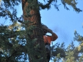 Chain saw equipped crew begins tree removal in Oregon