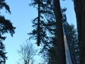 Crane equipment from Mr Tree lowers the cut from a pine tree removal