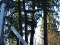 Cranes provided by Mr Tree assist in a pine tree removal