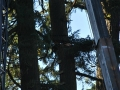 oregon-evergreen-tree-pruning-services-cranes