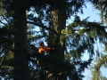 oregon-tree-removal-crew-works-on-pine-tree