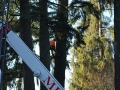 Trained crew from Mr Tree removing pine tree top