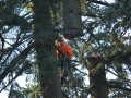 Pine tree top being removed in Portland Oregon