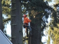 Cutting crew from Mr Tree works on tree removal.