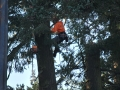 tree-removal-crew-climber