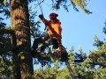One of Mr Tree's trained worker use chain saw to remove tree top