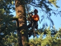 Removing tree in Oregon using a chain saw