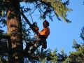 Mr Tree crew works on removing tree top