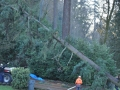 Portland tree removal service - cutting down Douglas Fir