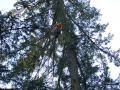 Douglas Fir tree cutting services for residential in Oregon