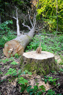 How Does Epsom Salt Work On Tree Stumps?
