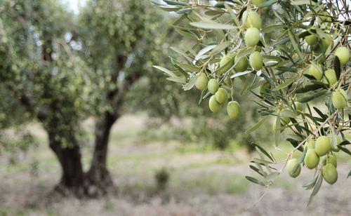 Are Your Olive Trees at Risk for Disease