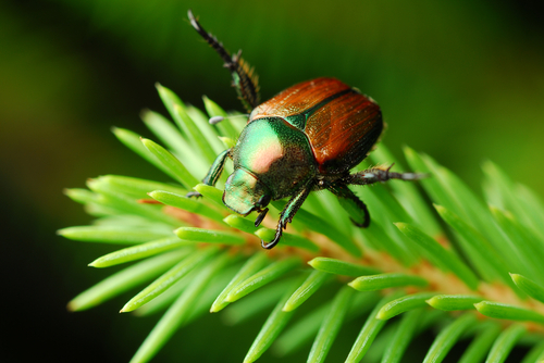 What You Need to Know About the Destructive Japanese Beetle