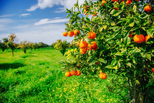 History of The Fruit Tree What is Pomology