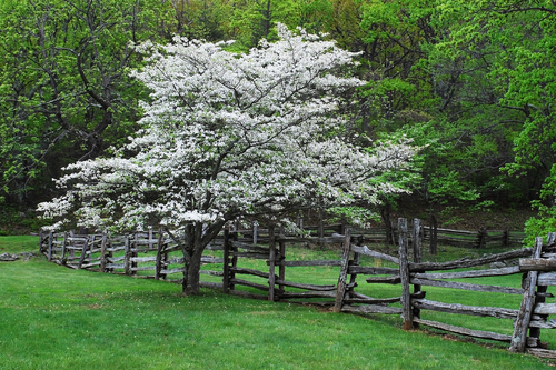 Our Favorite Varieties of Dogwood