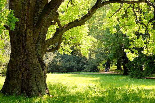 Oak Trees 101