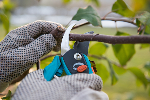 When Should I Begin Pruning My Tree
