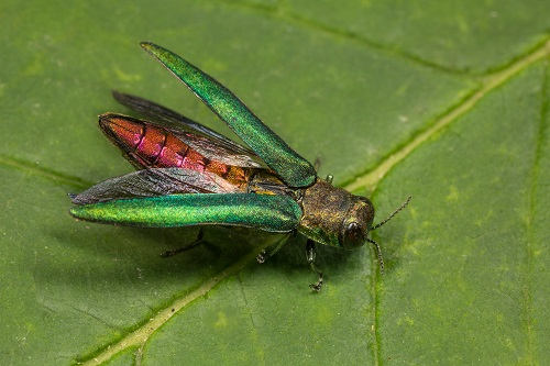 Get Prepared as the Emerald Ash Borer is Likely Headed This Way - Vancouver arborist