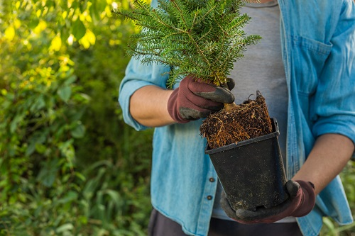 The Most Common Types of Spruce Trees to Plant