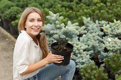 Woman Holding Up a Potted Baby Spruce Tree with More Tree in Background - Spruce Tree vs Pine Tree Blog