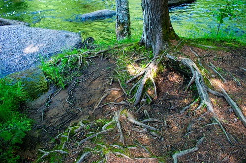 Tree With Many Roots Growing Out of The Ground - How to Remove Tree Roots Blog