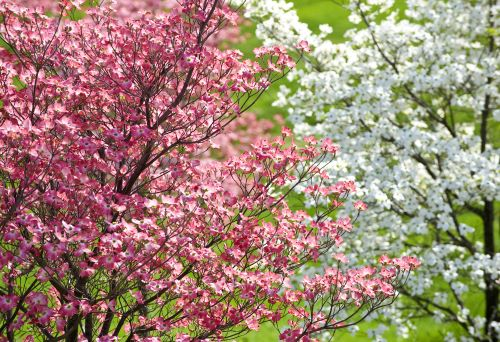 3 Disease Resistant Dogwood Trees Popular in the Northwest and How To Care for Them