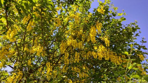 5 Fragrant Spring Flowering Trees