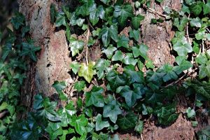 5 Tips for Protecting Portland Trees from Invasive Plant Species - English Ivy