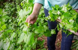 5 Tips for Protecting Portland Trees from Invasive Plant Species - Garlic Mustard