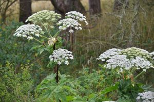 5 Tips for Protecting Portland Trees from Invasive Plant Species - Giant Hogweed