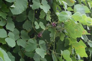 5 Tips for Protecting Portland Trees from Invasive Plant Species - Kudzu