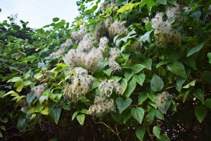 5 Tips for Protecting Portland Trees from Invasive Plant Species - Old Man_s Beard