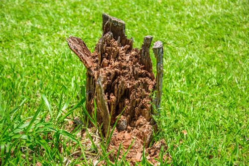 What To Do About Termites in a Dead Tree Stump