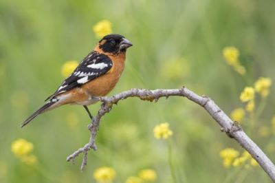 How to Attract Cardinals and Blue Jays to Your Yard_black-headed grosbeak