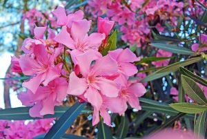 Identifying Northwest Trees that Have Leaves Poisonous for Humans - oleander