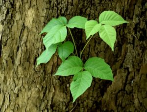 Identifying Northwest Trees that Have Leaves Poisonous for Humans - poison ivy