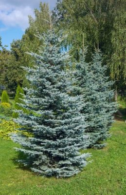 What Spruce Should I Plant - Blue Spruce vs. White Spruce_Blue