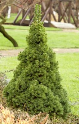 What Spruce Should I Plant - Blue Spruce vs. White Spruce_White