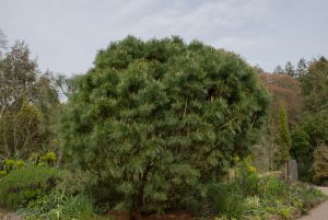 Short Pine Trees that Will Look Great in Your Yard - Japanese white pine