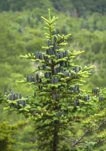 Short Pine Trees that Will Look Great in Your Yard - balsam fir