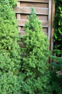 Short Pine Trees that Will Look Great in Your Yard - dwarf Alberta spruce