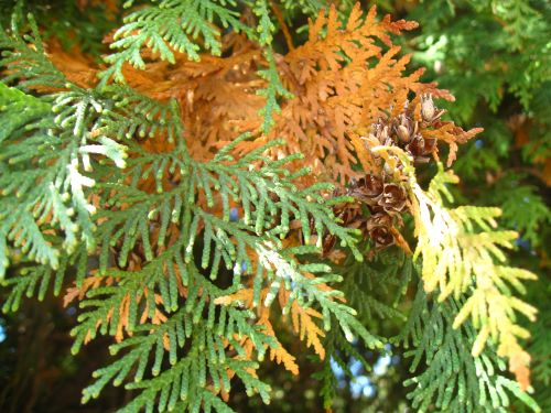 mr-tree-can-brown-arborvitae-be-saved-and-more-care-tips